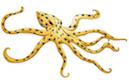 Blue Ringed Octopus Raja Ampat Marine Park