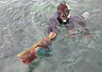 Raja Ampat Marine Park Authority Crown of Thorns Starfish 12